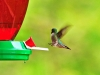 Ruby-throated Hummingbird. ©CherrySprinkle.com. DO NOT COPY
